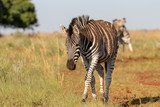 Walking zebra with two playing in background