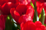 red tulips in sunlight © Luidmila Spot