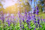 Blue Salvia with backdrop of the sunlight, Salvia farinacea Benth.