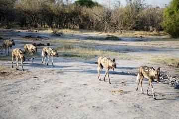 wild dogs in the savannah