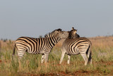 Zebra shouting at another zebra © African Images