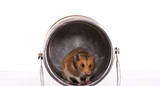 hamster in the trap
