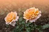 Rose flower closeup. Shallow depth of field. Spring flower of yellow rose - 240057919