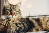 Beautiful tabby cat lying on bed and seriously looking with green eyes in sunny light. Fluffy Maine coon with funny emotions resting in white stylish room. Cat portrait