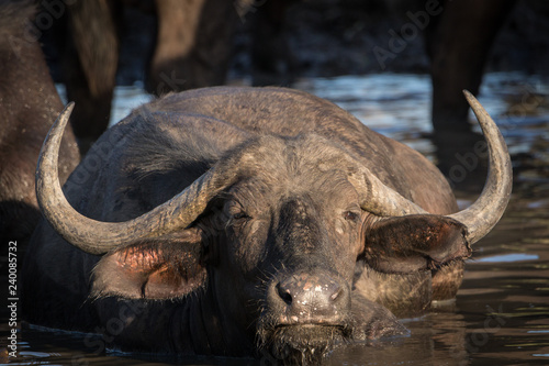 Close up portrait of big angry looking African Cape buffalo cow cooling off in the waterhole.