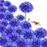 Wild blue flowers and insects flying. Hohey bees, ladybug and large white butterfly. Lovely bouquet of Сornflowers (Centaurea cyanus.  Asteraceae). Mutual desire. Life of nature. Isolated on white