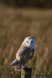 Barn owl - 240104713