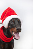 dog breed Doberman pincher  in cap Santa Claus and red scarf on white background