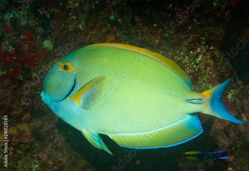 obraz PCV Eye stripped surgeonfish