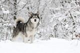 winter malamute dog - 240148536