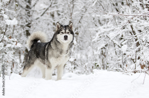 obraz lub plakat winter malamute dog