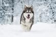 Leinwanddruck Bild - winter malamute dog