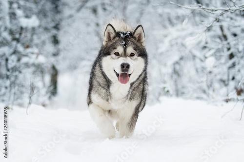 Leinwanddruck Bild winter malamute dog