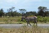Zebras im Lake Nakuru Nationalpark in Kenia