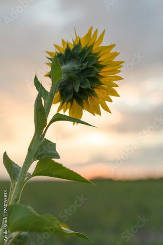 Aus der Perspektive einer Sonnenblume im Hochformat