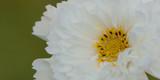 beautiful fluffy white cosmos flower © guppys