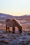 Beautiful landscape view of Icelandic horses in the field surrounded by snow covered mountains. Sunset/sunrise warm sunlight colours. Frosty snowy winter time. North Iceland. (Húsavík)