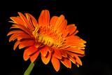 Beautiful orange gerbera