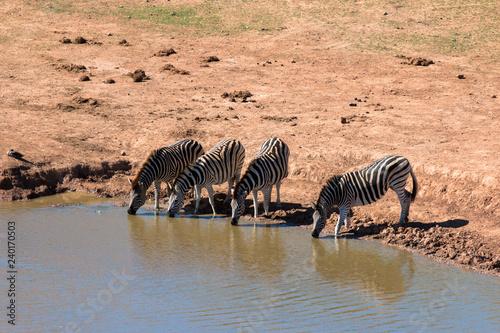 trinkende Zebras an einer Wasserstelle im Addo Nationalpark in Südafrika - 240170503