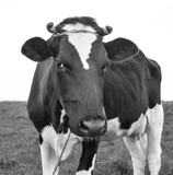 Cow portrait in a pasture. Cow on the background of green field. Beautiful funny cow on cow farm grazing on the field.