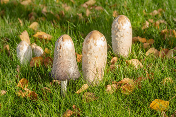 Close up of a nest of Shaggy Inkcap mushroom, Coprinus comatus, growing in a maintaned grassy meadow.