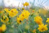 黄色いコスモス © Megmy