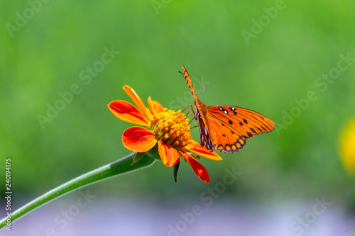 Viceroy butterfly on a flower - 240194175