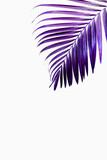 Purple tropical palm leaf against white wall - 240201181