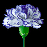 blue white carnation flower isolated on a black background. Close-up. Flower bud on a green stem.
