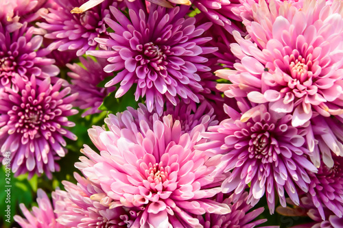 Chrysanthemums in the Botanical Garden spring day tropical garden Floral nature background.Selective focus.agriculture idea concept design with copy space add text. - 240218343