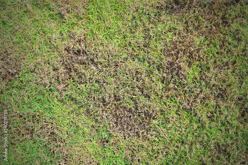 Grass texture, grass background. patchy grass, lawn in bad condition and need maintaining, Pests and disease cause amount of damage to green lawns, lawn in bad condition and need maintaining.