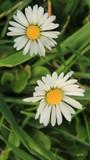The Daisy Flowers_2285