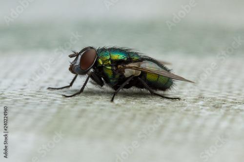 Fliege - 240224960