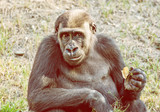 Western lowland gorilla is posing, yellow filter - 240228589