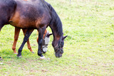 Horses eating in the grass