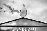 Seagulls on a sign post in Llandudno, Wales, UK. Black and white photography.