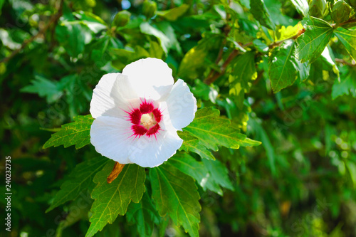 Hibiscus Syriacus Red Heart Buy Photos Ap Images Detailview