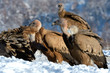 Griffon Vultures in Winter Landscape, into the Mountains