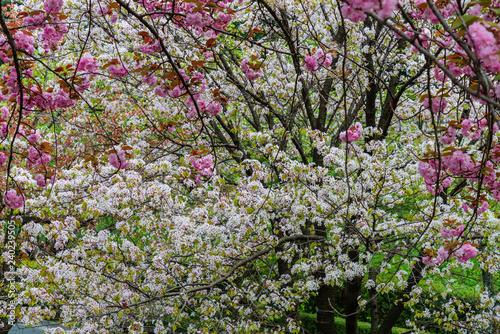 ciliegi in fiore - 240239505