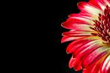 Red Gerbera Petals