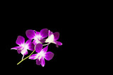purple orchids isolated on black background © alek_maneewan