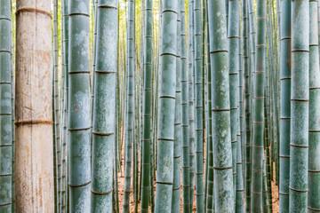 foresta bambu