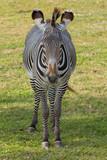 Grévy's zebra (Equus grevyi)