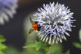 Bumblebee collecting pollen from a thistle