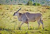 Fototapeta Sawanna - African antelope. Wildlife savanna in Africa. © vasin