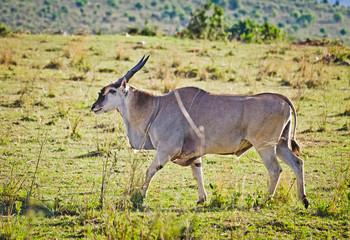 African antelope. Wildlife savanna in Africa.
