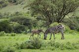 Zebra mother and calf