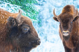 Portrait of bisons buffalo against amazing winter forest background with snow covered trees.