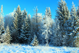 Beautiful snowy forest. Trees covered with snow. Wonderful view. Background. Landscape.