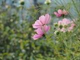 コスモスの花 © ohira02